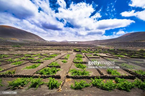 vineyard landscape in la geria, lanzarote - lanzarote stock pictures, royalty-free photos & images