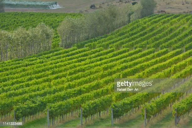 vineyard landscape in tasmania australia - rafael ben ari stock-fotos und bilder