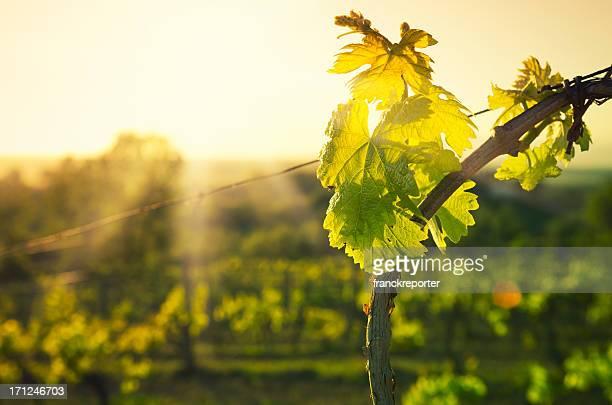 Vineyard hoja en la región de Chianti en la Toscana hills en la puesta de sol