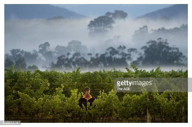 Vineyard Manager Phil Lobley looks over grapes which are nearly ready to be harvested at De Bortoli winery Dixons Creek Yarra Valley THE AGE NEWS...