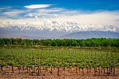 Vineyard near Mendoza