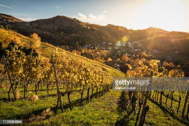 vineyard near sasbachwalden, black forest, baden-wurttemberg, germany - baden württemberg stock pictures, royalty-free photos & images