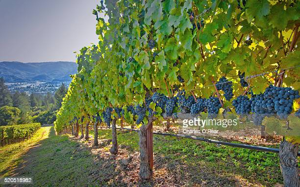 vineyard near st. helena, california - napa valley stock pictures, royalty-free photos & images