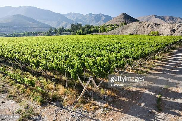 ビクーニャ、チリ周辺のブドウ園