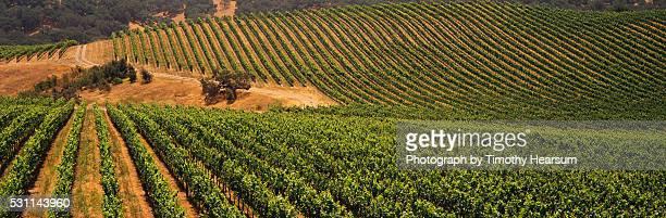 vineyard of wine grapes - timothy hearsum stock-fotos und bilder