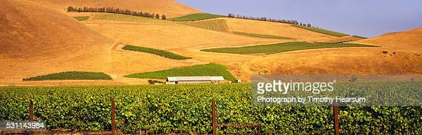 vineyard of wine grapes - timothy hearsum stock pictures, royalty-free photos & images