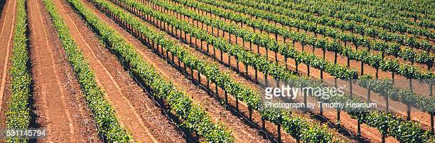 vineyard of wine grapes - timothy hearsum fotografías e imágenes de stock