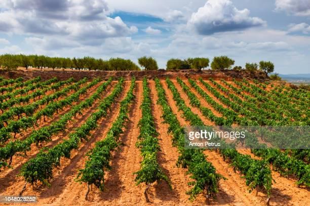 Vineyard on a bright sunny day. La Rioja, Spain