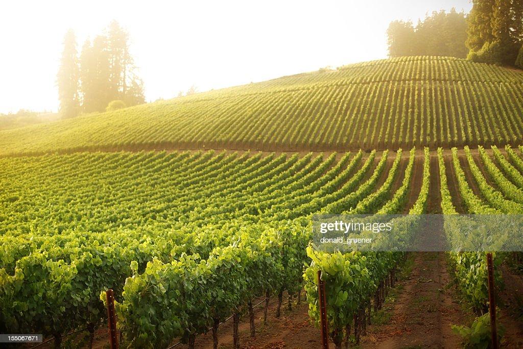 Vineyard on a hillside at sunrise or sunset : Stock Photo