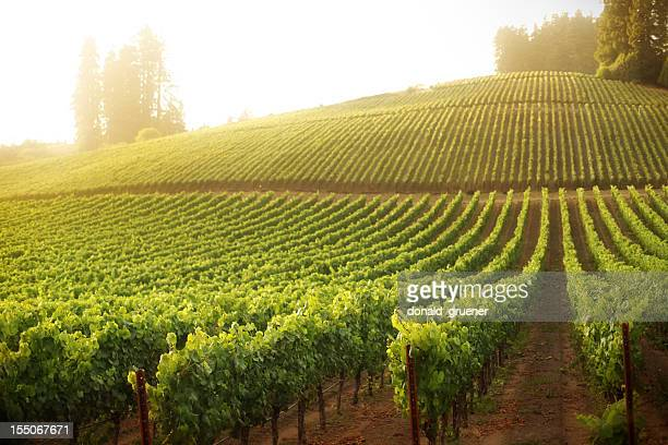 Vineyard on a hillside at sunrise or sunset