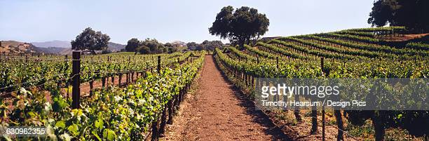 a vineyard on a rolling hillside in early summer with live oak trees and mountains beyond, santa ynez valley - timothy hearsum stock pictures, royalty-free photos & images