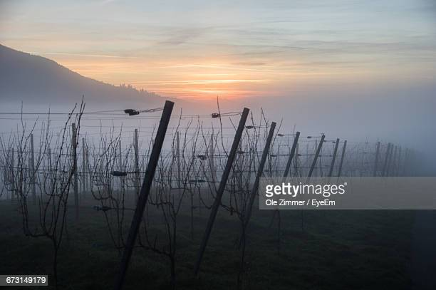 Vineyard On Field Against Sky During Foggy Weather At Sunset