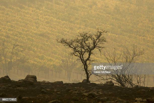 Vineyard on Napa's Silverado Trail is seen next to land blackened the Atlas Fire on October 11, 2017 near Napa, California. In one of the worst...