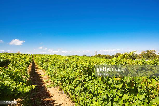 vineyard - constantia stock pictures, royalty-free photos & images