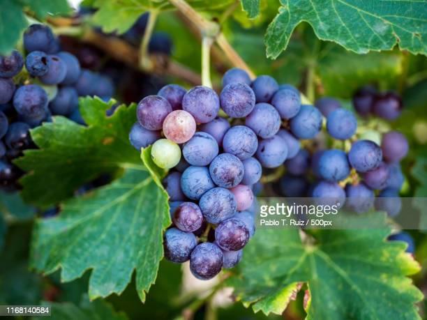 vineyard (castilla-la mancha) - castilla la mancha fotografías e imágenes de stock