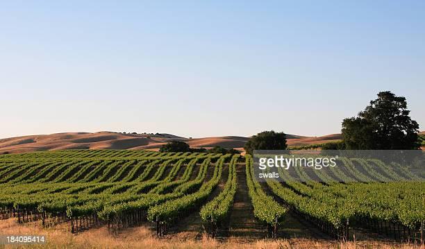 vineyard - pinot noir grape stock photos and pictures