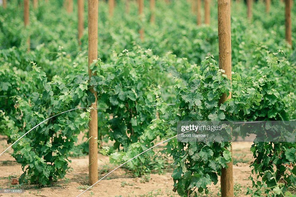 Vineyard : ストックフォト