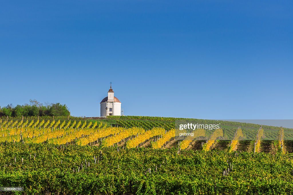 Vineyard : Bildbanksbilder
