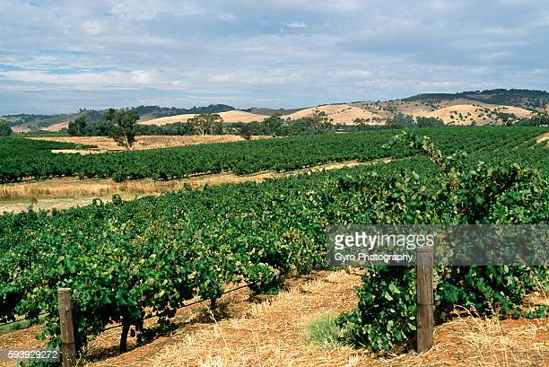 vineyard - barossa valley stock pictures, royalty-free photos & images