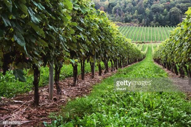 vineyard - marthas vineyard stock pictures, royalty-free photos & images