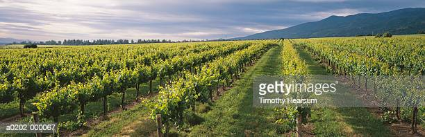 vineyard - timothy hearsum stock pictures, royalty-free photos & images