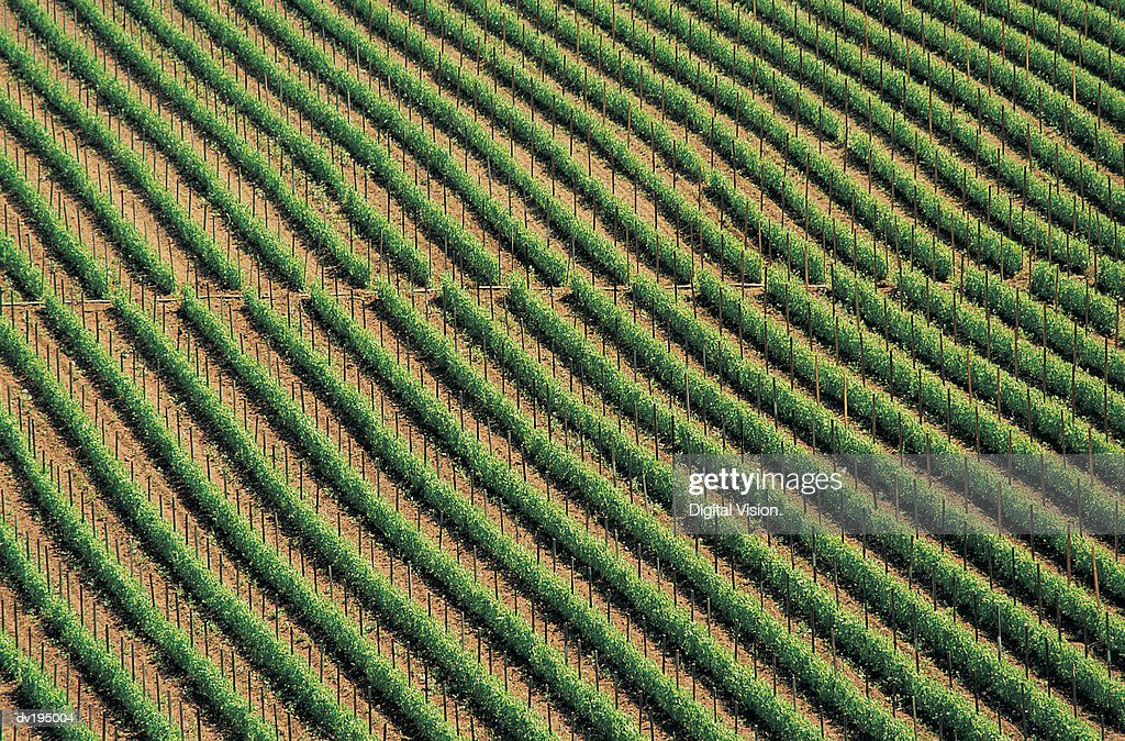 Vineyard : Stock Photo