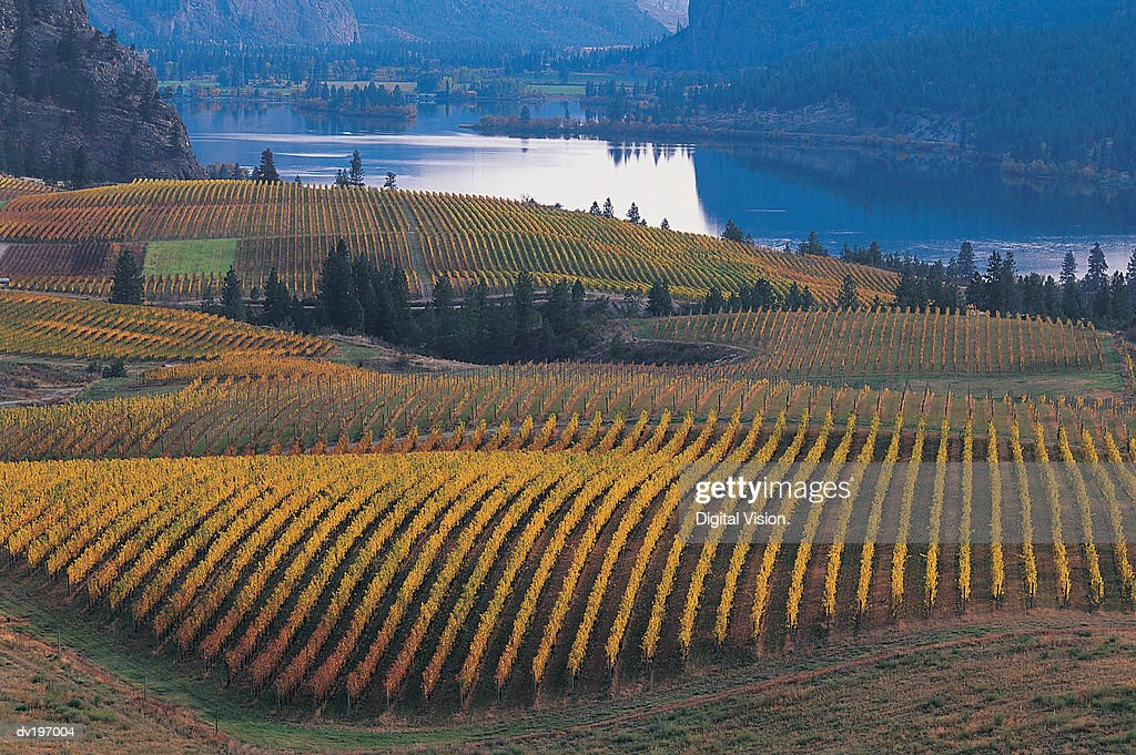 Vineyard : Stock Photo