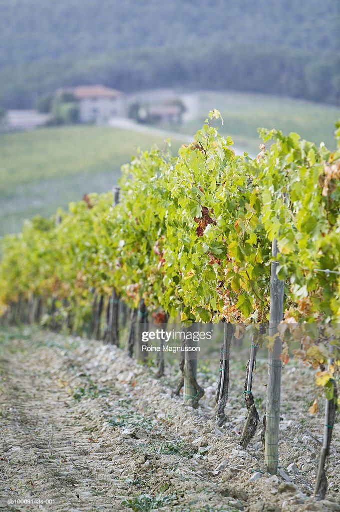 Vineyard : Stockfoto