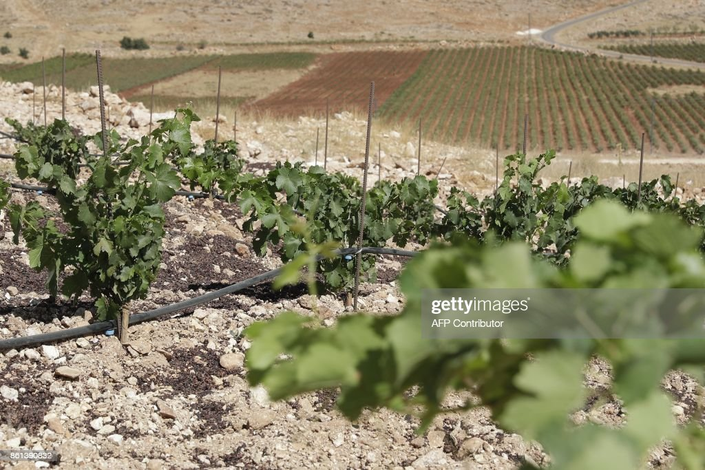 A vineyard planted next to a cannabis field (unseen) on the outskirts of Deir al-Ahmar in the Bekaa Valley, one of the poorest regions in Lebanon and notorious for its cannabis production, on October 3, 2017. Lebanon's Coteaux Heliopolis cooperative was launched in 1999 and now covers around 250 hectares of vineyard (620 acres) in Deir al-Ahmar. The first harvest in 2003 and the resulting windfall sparked a wave of interest among cannabis farmers in the area. EID