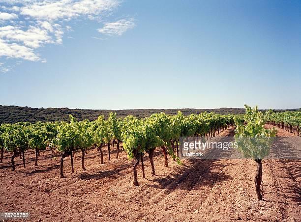 A vineyard, Provence, France