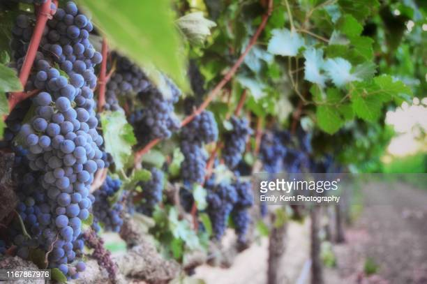 vineyard row - winery stock pictures, royalty-free photos & images