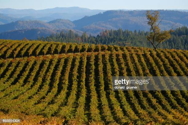 vineyard rows curving over rolling hills - foothills stock pictures, royalty-free photos & images