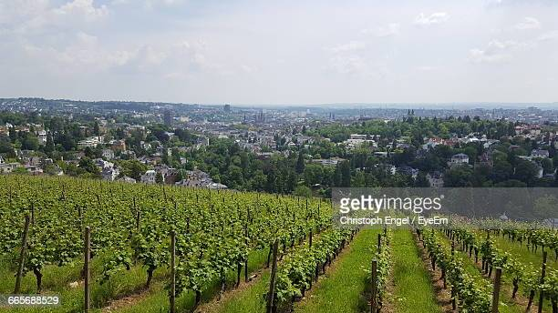 Vineyard Scene Against Townscape