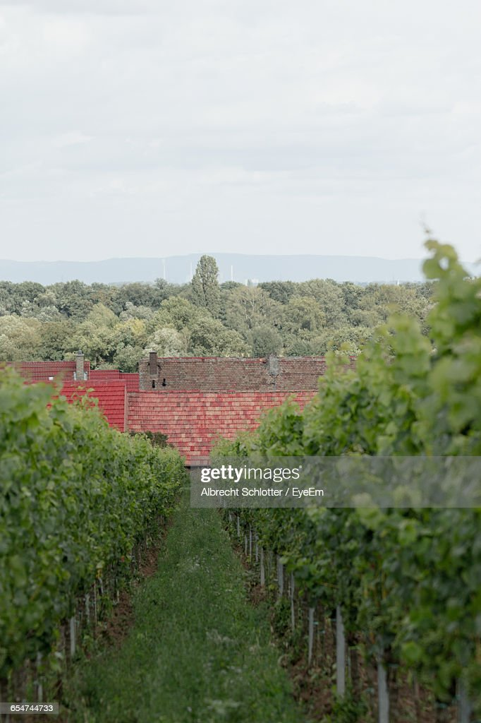 Vineyard Scene : Stock-Foto