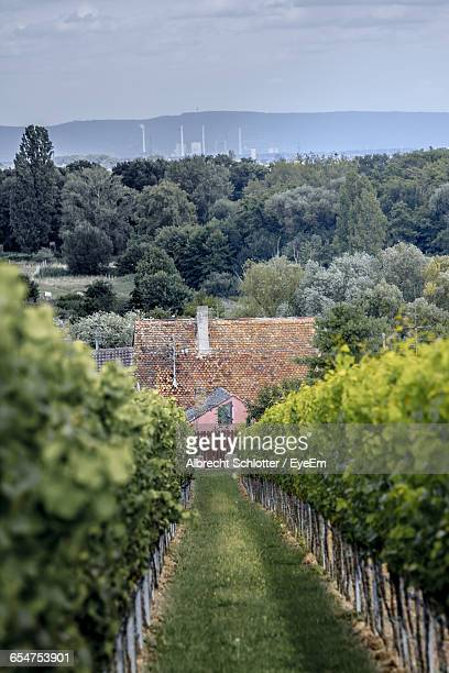 vineyard scene - albrecht schlotter stock photos and pictures