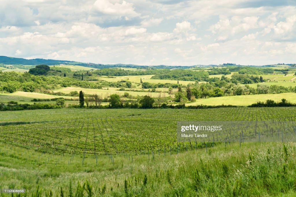 Vineyard, Siena Province, Tuscany, Italy : Stock Photo