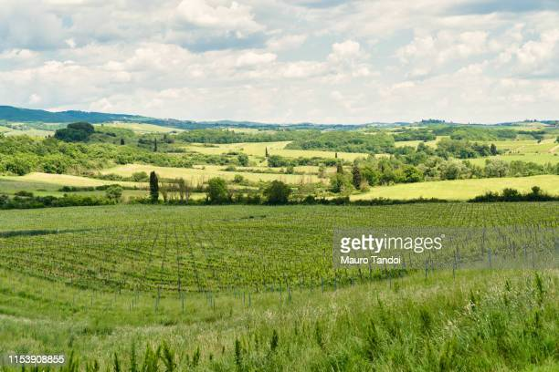 vineyard, siena province, tuscany, italy - mauro tandoi stock photos and pictures