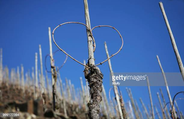 vineyard, steep slope, heart-shaped vines, moselle, rhineland-palatinate, germany - moselle stock pictures, royalty-free photos & images
