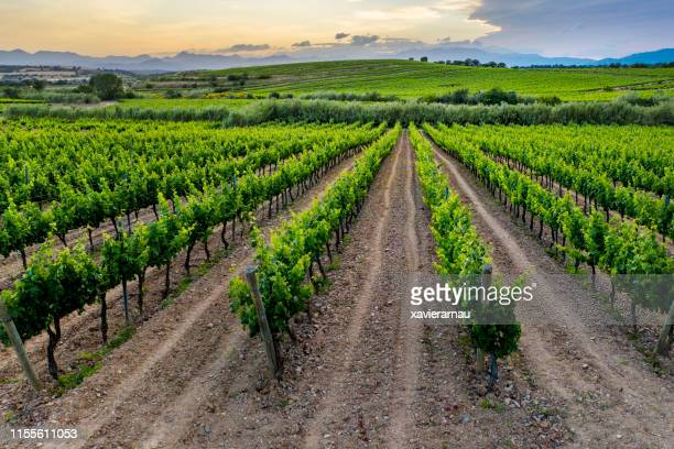 vineyard sunset - catalonia stock pictures, royalty-free photos & images