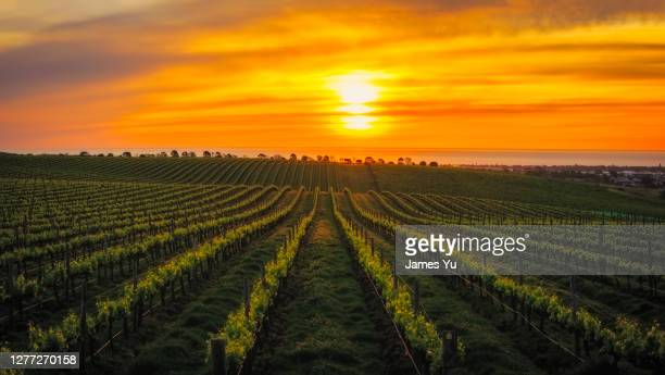vineyard sunset - hill stock pictures, royalty-free photos & images