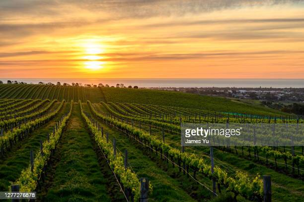 vineyard sunset - valley stock pictures, royalty-free photos & images
