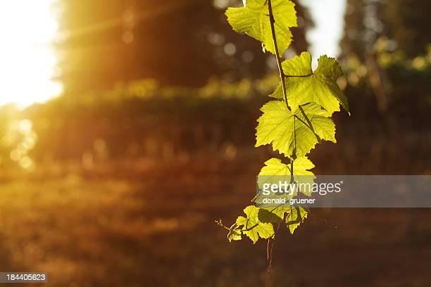 ブドウ園の夕日