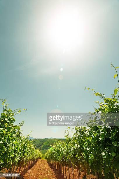 ブドウ園の夕日  - cabernet sauvignon grape ストックフォトと画像