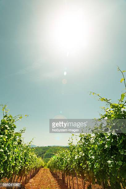 vineyard sunset - cabernet sauvignon grape stock photos and pictures