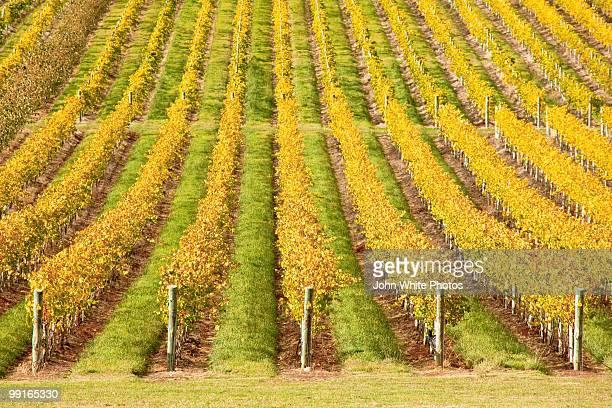 Vineyard Tasmania Australia