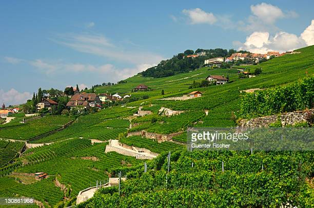 vineyard terraces at rivaz in the lavaux unesco world heritage region, vaud, switzerland, europe - kanton waadt stock-fotos und bilder