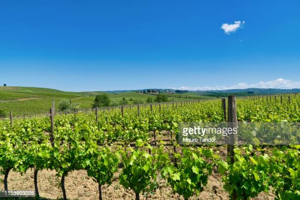 vineyard, tuscany, italy - mauro tandoi stock photos and pictures