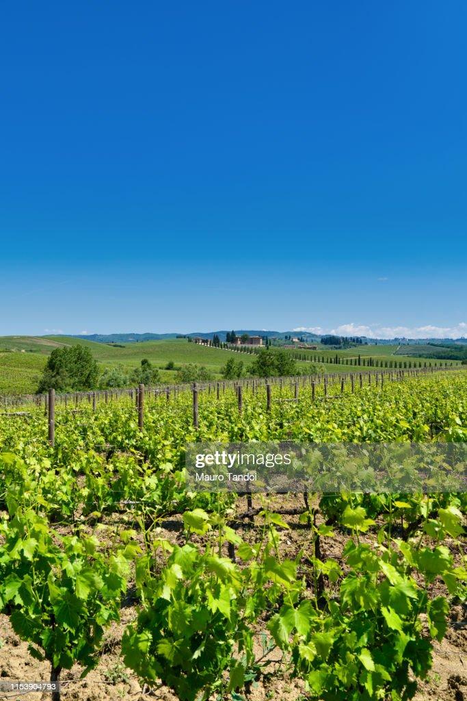 Vineyard, Tuscany, Italy : Stock Photo