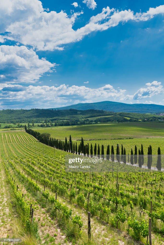 Vineyard, Tuscany, Italy : Foto stock