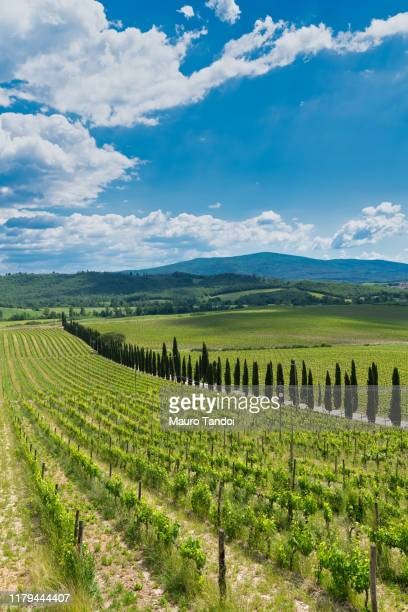 vineyard, tuscany, italy - mauro tandoi stock photos and pictures
